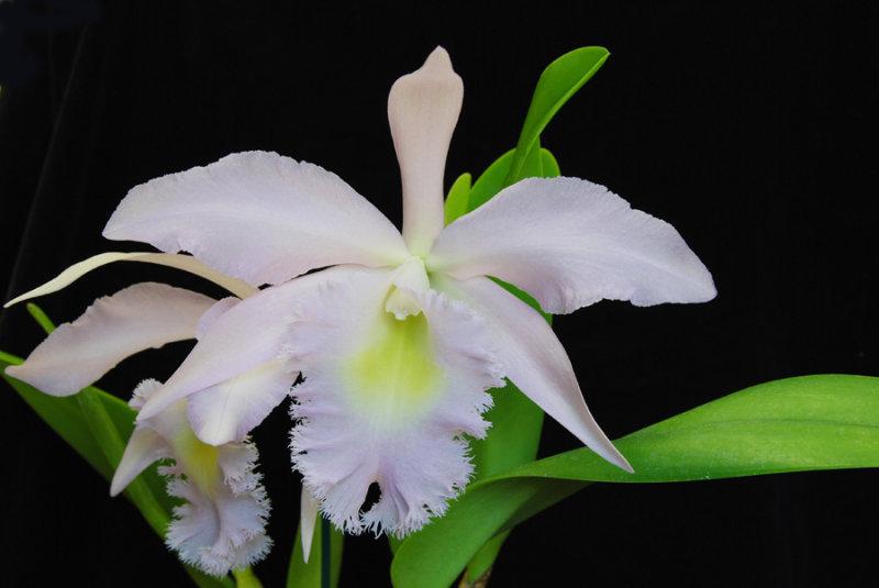 20124620  -  Rhyncholaeliocattleya Madame Charles Maron  Andys Joy  HCC/AOS  (79 points)  8-9-2012.jpg