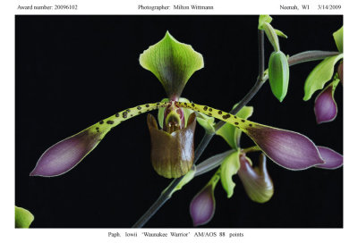 20096102 -   Paph. lowii Waunakee Warrior AM/AOS  88 pts.