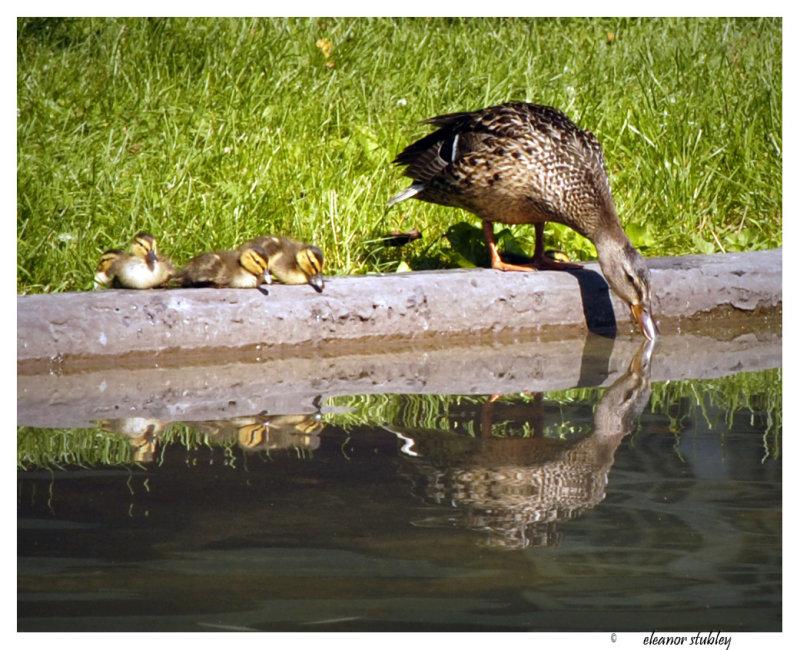 Baby Ducks, Westmount Park