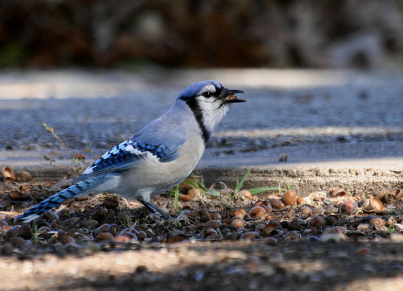 BLUEJAY AND AN ACORN