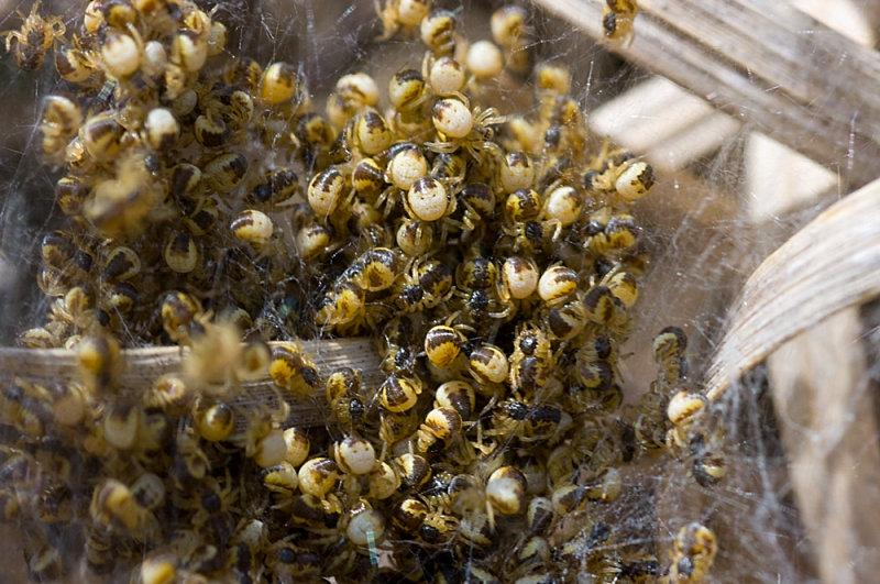 Hatching Spiders