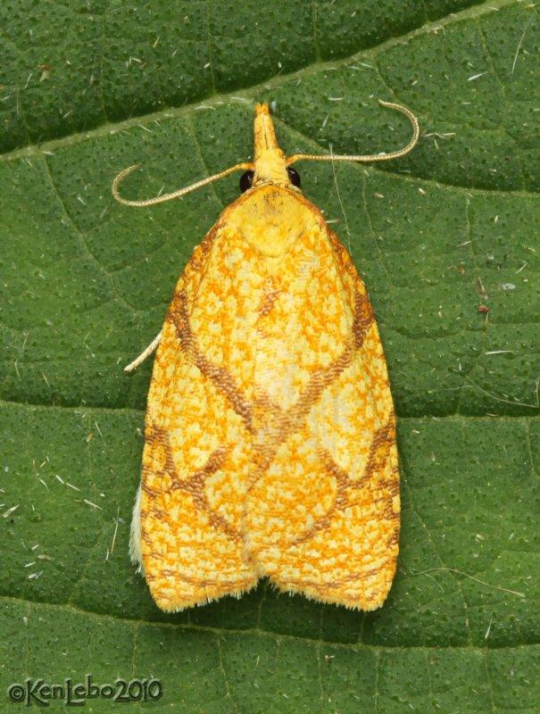 Reticulated Fruitworm Moth Cenopis reticulatana #3720