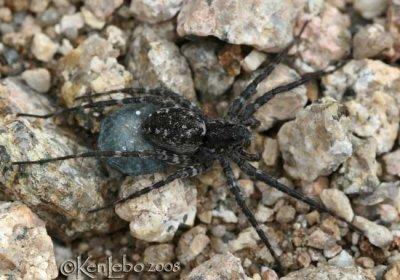 Wolf Spider - Pardosa sp. female with egg sac