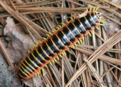 Woodland Millipede - Apheloria virginiensis - not an insect