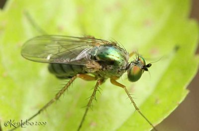 Long-legged Fly Dolichopus versutus