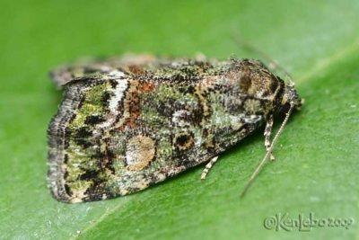 Small Mossy Lithacodia - Lithacodia musta #9051