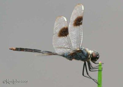 Four-spotted Pennant Brachymesia gravida