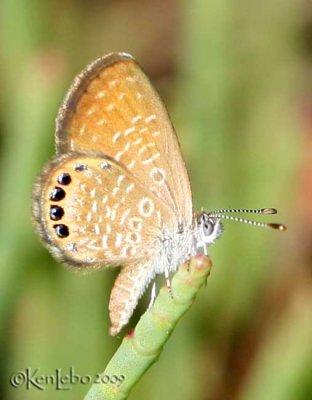 Eastern Pygmy Blue