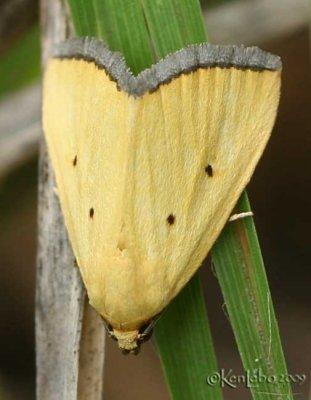 Black-bordered Lemon Moth Thioptera nigrofimbria #9044
