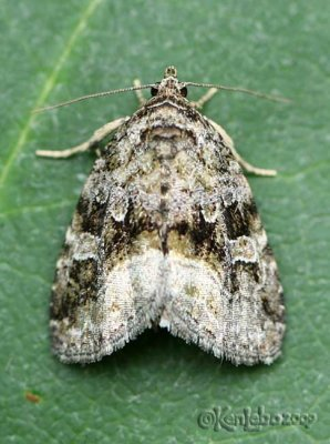 Large Mossy Lithacodia - Lithacodia muscosula #9047