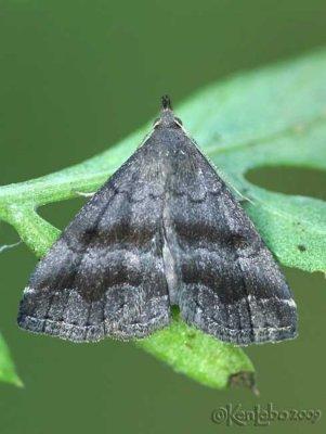 Black-banded Owlet Phalaenostola larentioides #8364