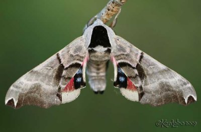 Twin-spotted Sphinx Smerinthus jamaicensis #7821