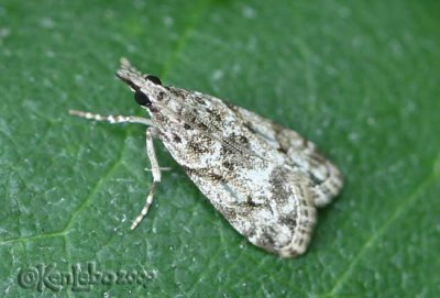 Eudonia heterosalis #4739