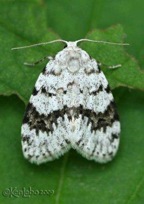 Little White Lichen Moth Clemensia albata #8098
