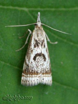 Elegant Grass-veneer Moth Microcrambus elegans #5420