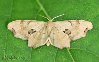 Brown Scoopwing Calledapteryx dryopterata #7653