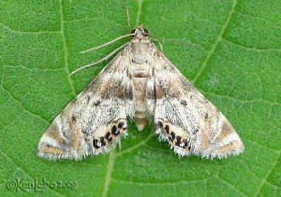 Petrophila fulicalis #4777