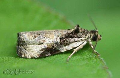 Bunchberry Leaffolder Moth Olethreutes connectum #2787