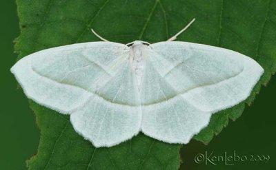 Pale Beauty Campaea perlata #6796