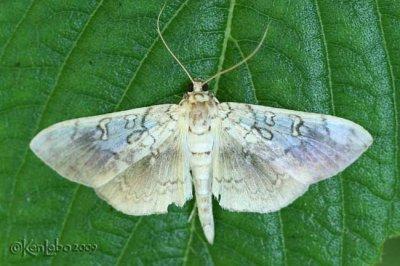 Basswood Leafroller Moth Pantographa limata #5241