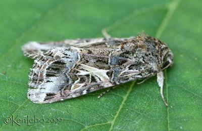 Spodoptera ornithogalli #9669