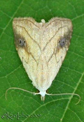 Spotted Grass Moth Rivula propinqualis #8404