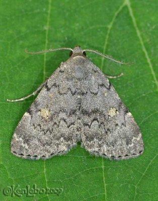 Common Idia Moth Idia aemula #8323