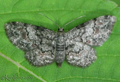 Texas Gray Glenoides texanaria #6443