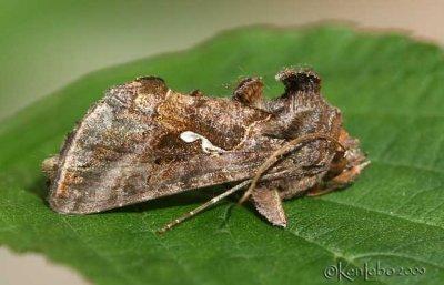 Common Looper Moth Autographa precationis #8908