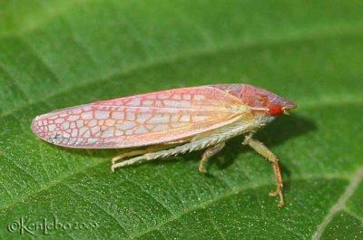 Leafhopper Gyponinae