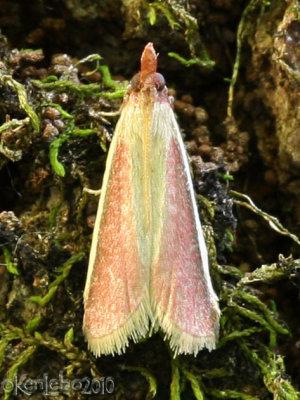 Carmine Snout Moth Peoria approximella #6053