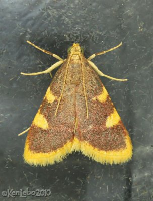 Clover Hayworm Moth Hypsopygia costalis #5524