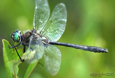 American Emerald Cordulia shurtleffii