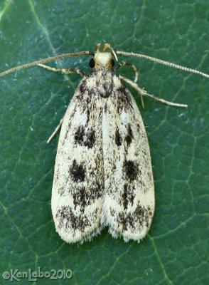 Martyringa latipennis #1065
