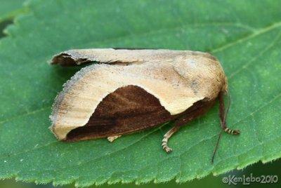Skiff Moth Prolimacodes badia #4671