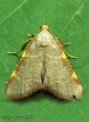 Pink-fringed Dolichomia Moth Dolichomia binodulalis #5530
