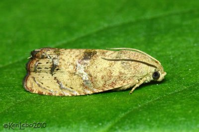 Filbertworm Moth Cydia latiferreana #3494