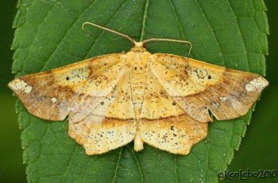 Euchlaena amoenaria #6733