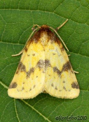 Obtuse Yellow Azenia obtusa #9725
