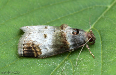 Orange-tufted Oneida Moth Oneida lunulalis #5588