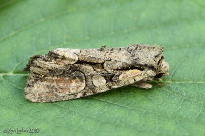 Speckled Cutworm Moth Lacanobia subjuncta #10299