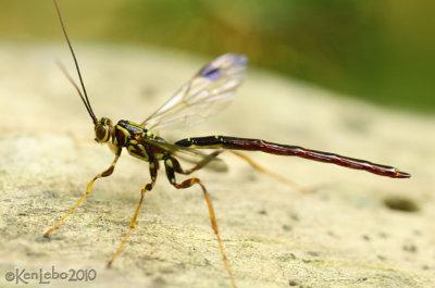 Ichneumon Wasp Megarhyssa sp.