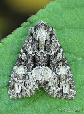 Adorable Brocade Moth Platypolia mactata #9419