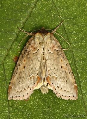 Tufted Thyatirid Moth Pseudothyatira cymatophoroides #6237