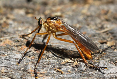 Robber Fly Diogmites neoternatus