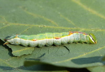 Variable Oakleaf Caterpillar