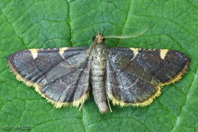 Yellow-fringed Dolichomia Moth Hypsopygia olinalis #5533