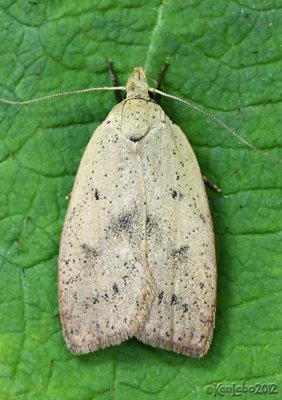 Gold-striped Leaftier Moth Machimia tentoriferella #0951