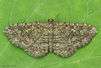 Somber Carpet Moth Disclisioprocta stellata #7417