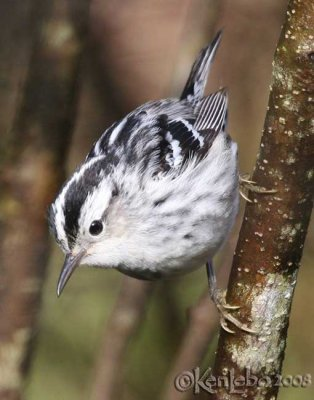 Black-and-white Warbler - female